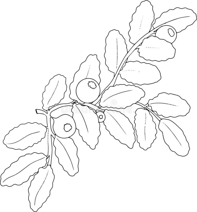 Illustration noire et blanche de nourriture de myrtille photos libres de droits