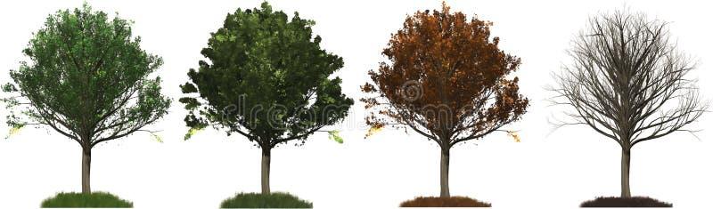 All four seasons Oak tree illustration vector illustration