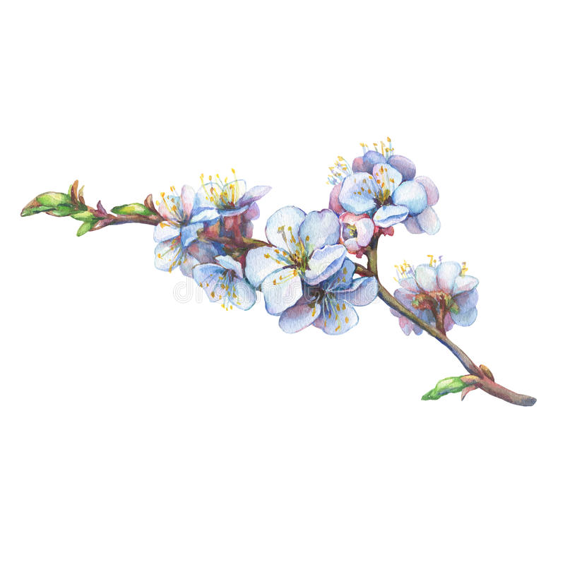 Free Illustration Of Apricot Branch With Flowers. Stock Image - 90251661