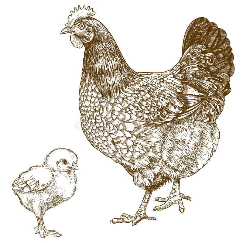Free Illustration Of Engraving Chicken And Chick Royalty Free Stock Images - 69136919