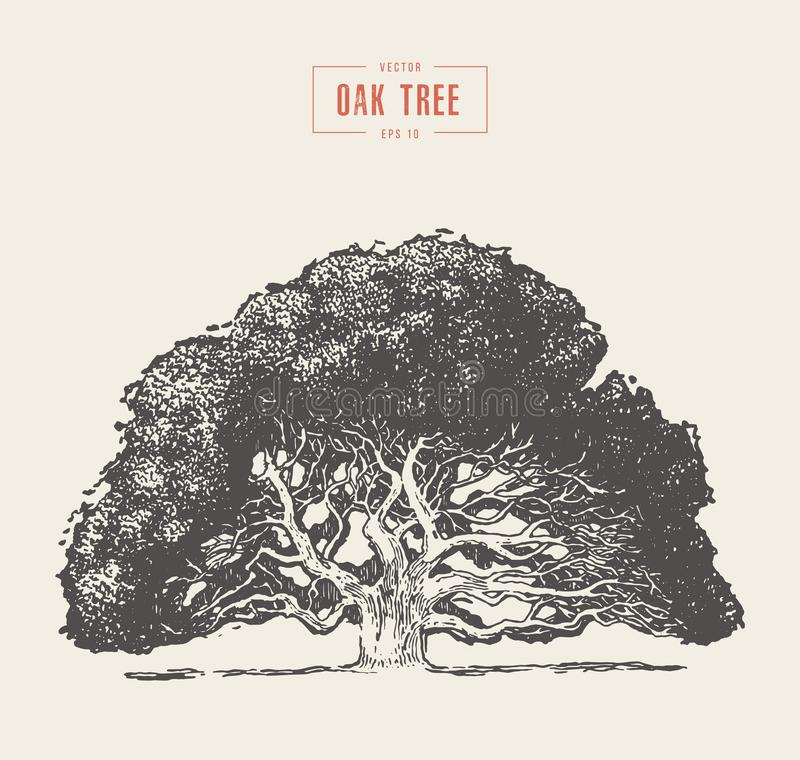 Old oak tree hand drawn engraved style, vector vector illustration