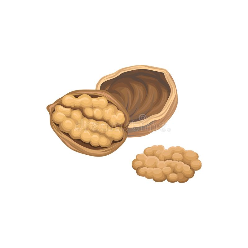 Illustration with opened walnut and one half in front of it. Natural product. Healthy eating. Realistic hand drawn royalty free illustration