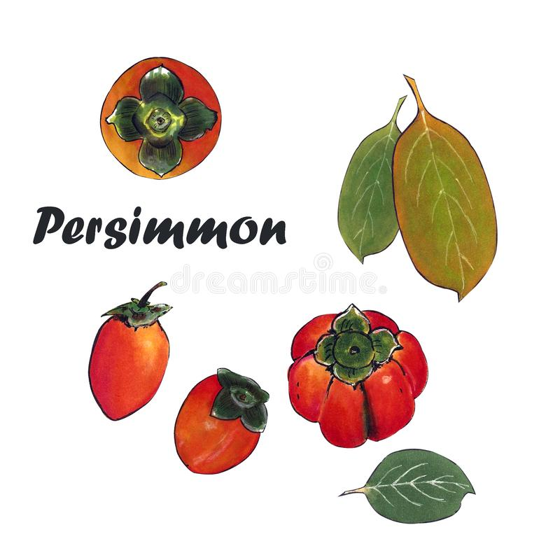 Illustration orange persimmon with leaves. Drawing markers royalty free illustration