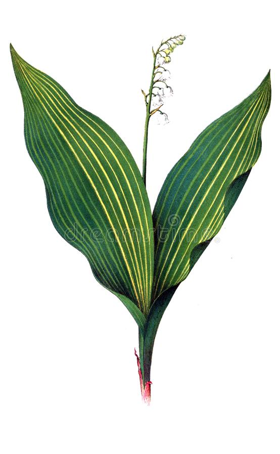 Illustration of a plant. stock illustration