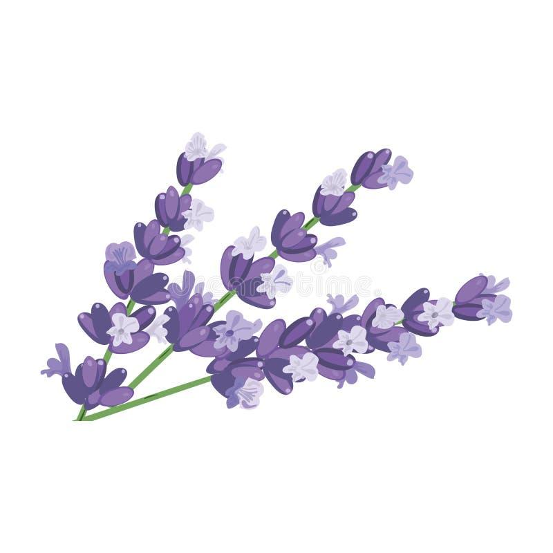 Illustration pourpre de vecteur de plan rapproché de fleurs de lavande pour des cosmétiques, magasin, illustration libre de droits