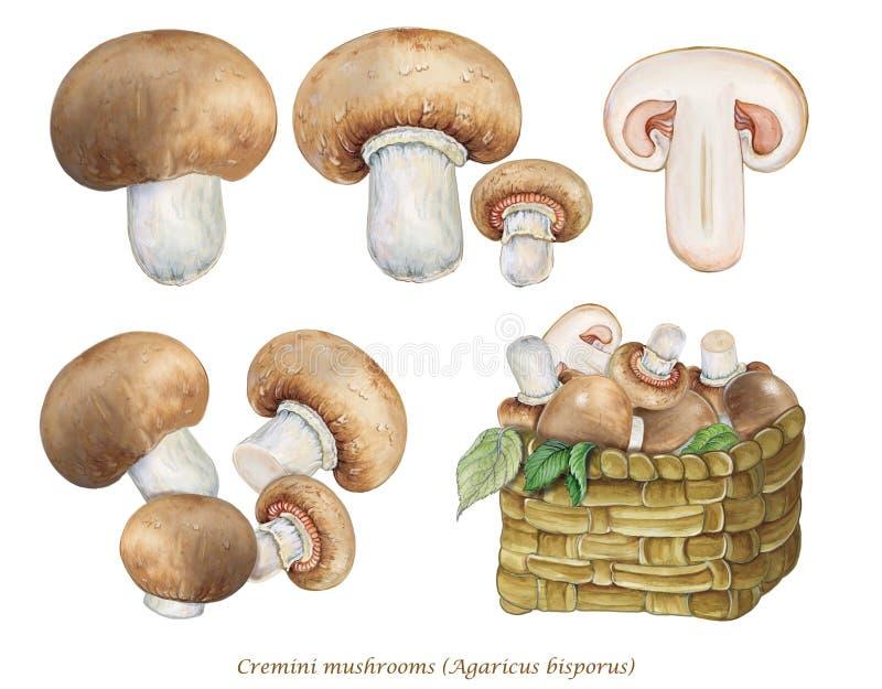 Illustration réaliste des champignons de Cremini, agaricus bisporus de champignons de champignon de paris illustration libre de droits