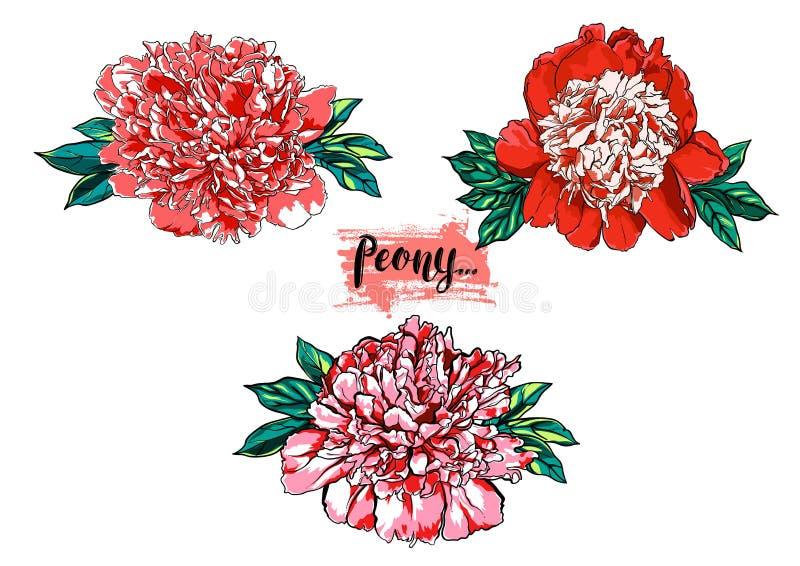 Illustration réglée de pivoine de vecteur tiré par la main de fleur illustration de vecteur