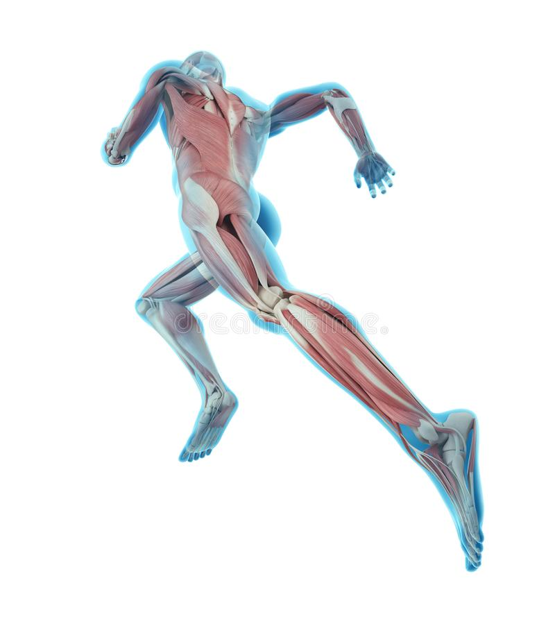 Illustration of runner. 3d rendered medically accurate illustration of runner royalty free illustration