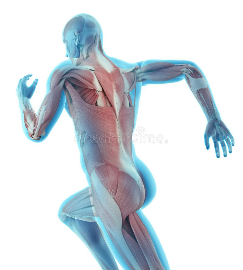 Illustration of runner. 3d rendered medically accurate illustration of runner vector illustration