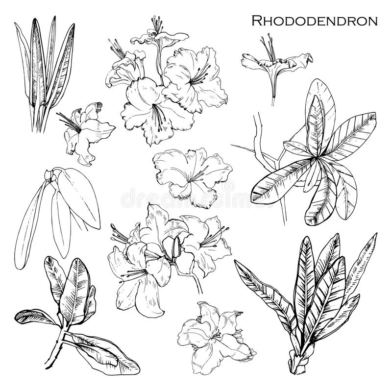 Illustration of set with botanik ink herbal. Isolated object rhododendron francisca. Hand drawn Alpine rose for your. Vector illustration of set with botanik ink stock illustration
