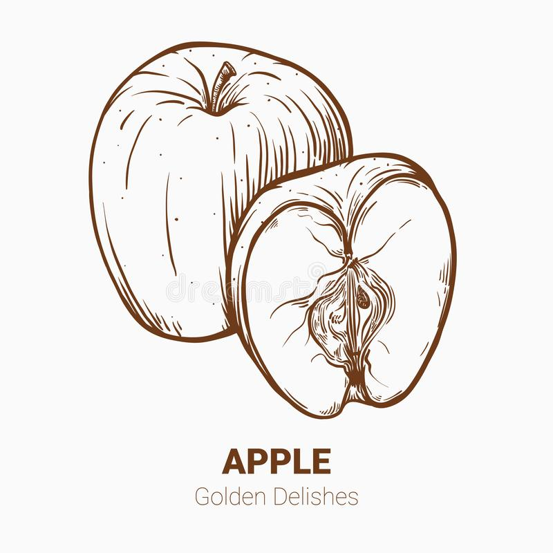 Illustration set of drawing apples Golden delicious elements. Ha royalty free illustration