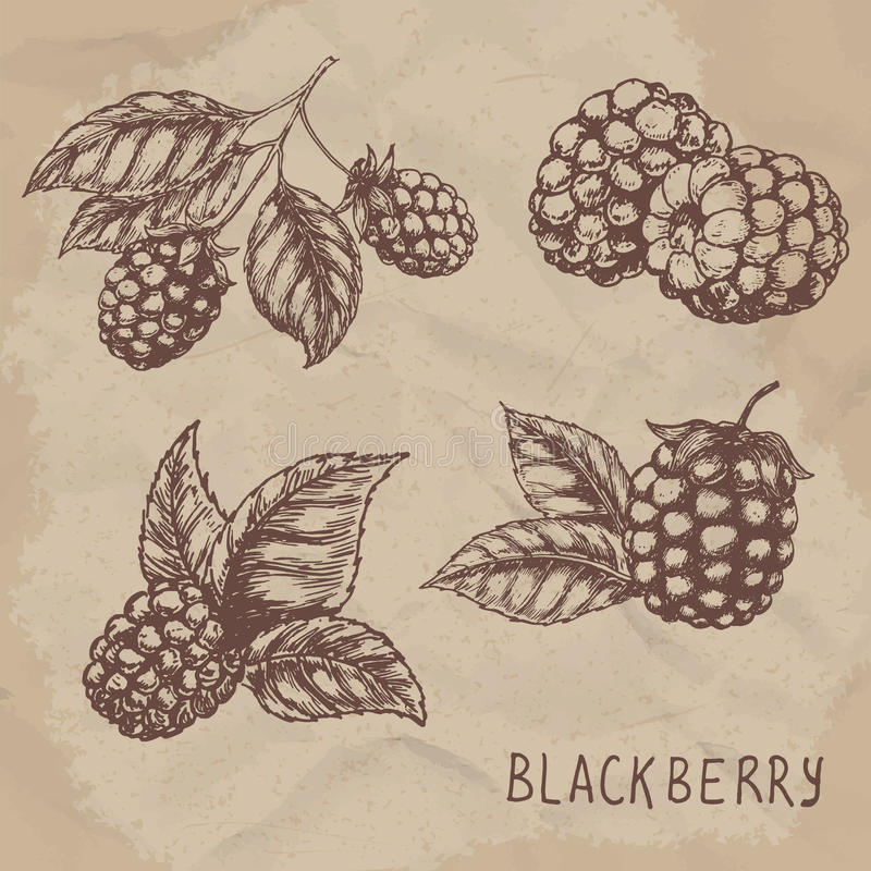 Illustration set of drawing blackberry raspberry. Hand draw illustration set for design. Vector engraving drawing antique illustration of blackberry with leafs royalty free illustration
