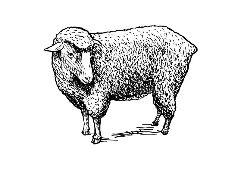 Illustration of sheep. Vector hand drawn illustration of sheep in vintage engraved style. isolated on white royalty free illustration