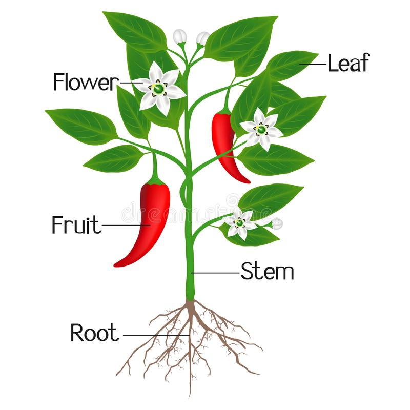 An illustration showing parts of a chili pepper plant. stock photos