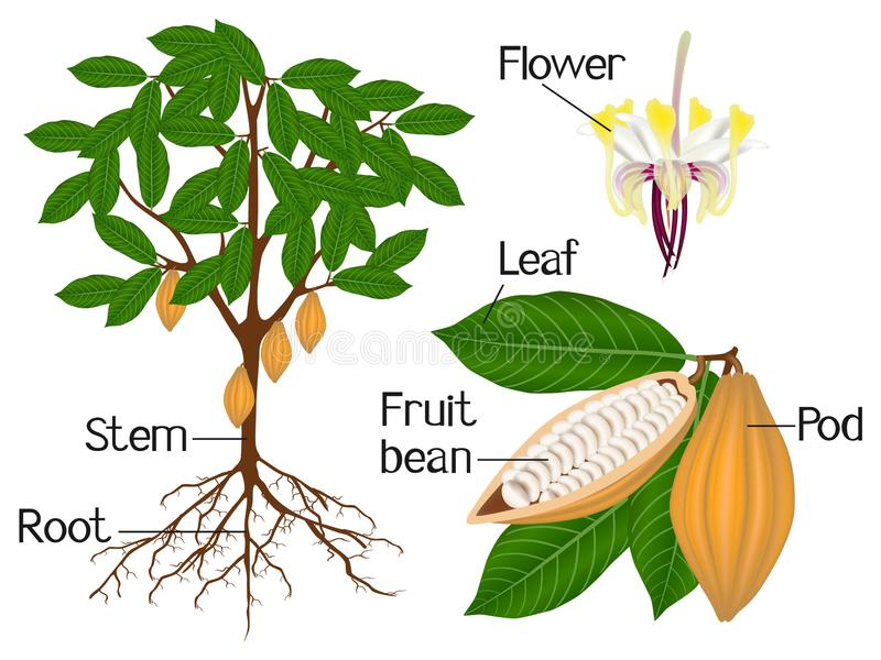 Illustration Showing Parts Cocoa Plant Beautiful Illustration Illustration Showing Parts Cocoa Plant Image109096386 on Plant Life Cycle Stages