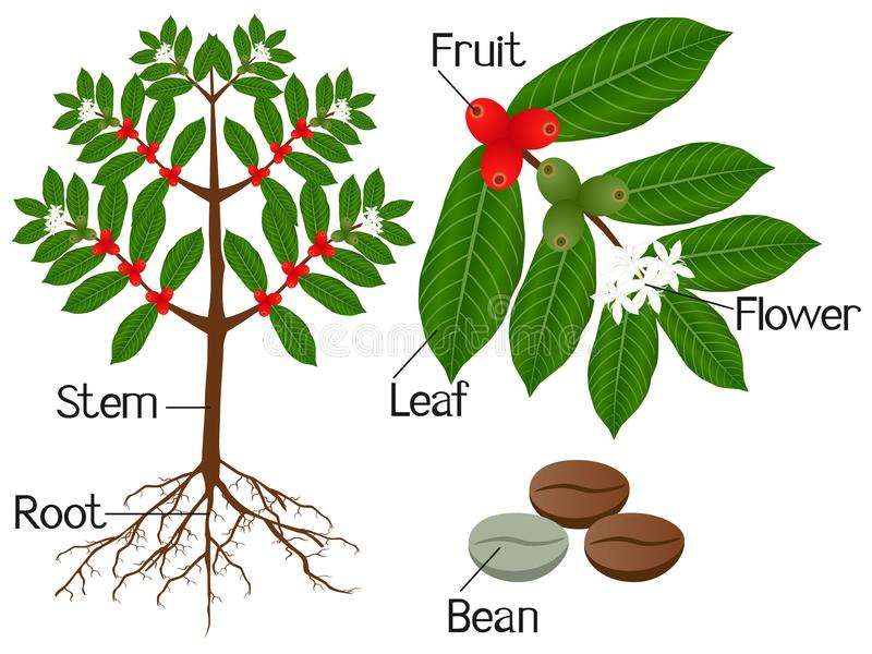 Illustration showing parts of a coffee plant on a white background. royalty free illustration
