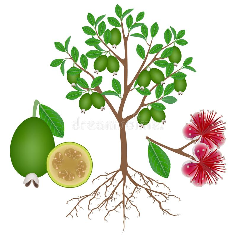 An illustration showing parts of a feijoa plant on a white background. vector illustration
