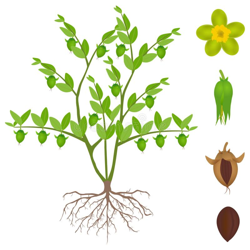 An illustration showing parts of jojoba plant on a white background. vector illustration
