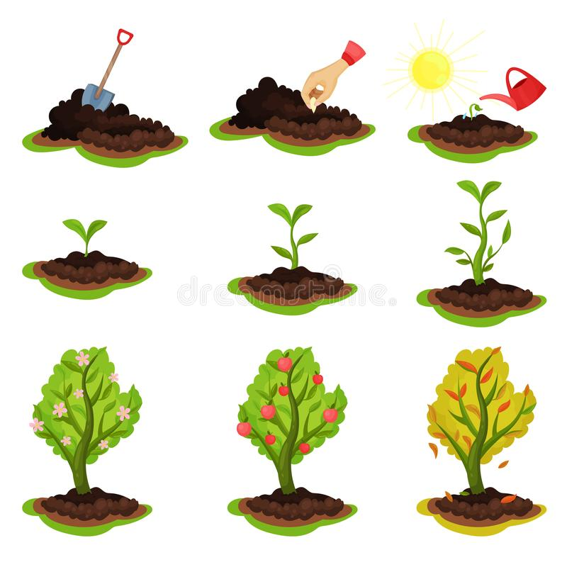 Flat vector illustration showing plant growing stages. Process from planting seeds to tree with ripe apples. Gardening royalty free illustration