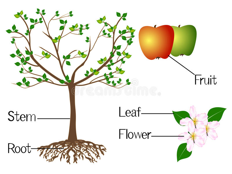 The illustration shows part of the apple plants. vector illustration