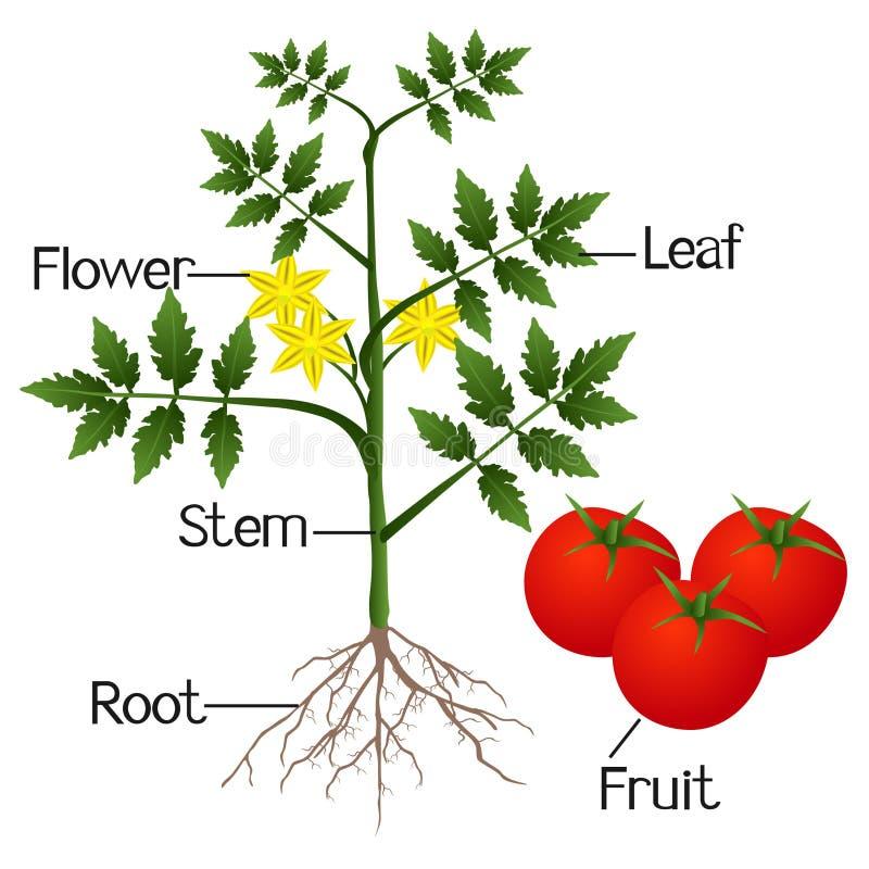 Illustration som visar delarna av en tomatväxt vektor illustrationer