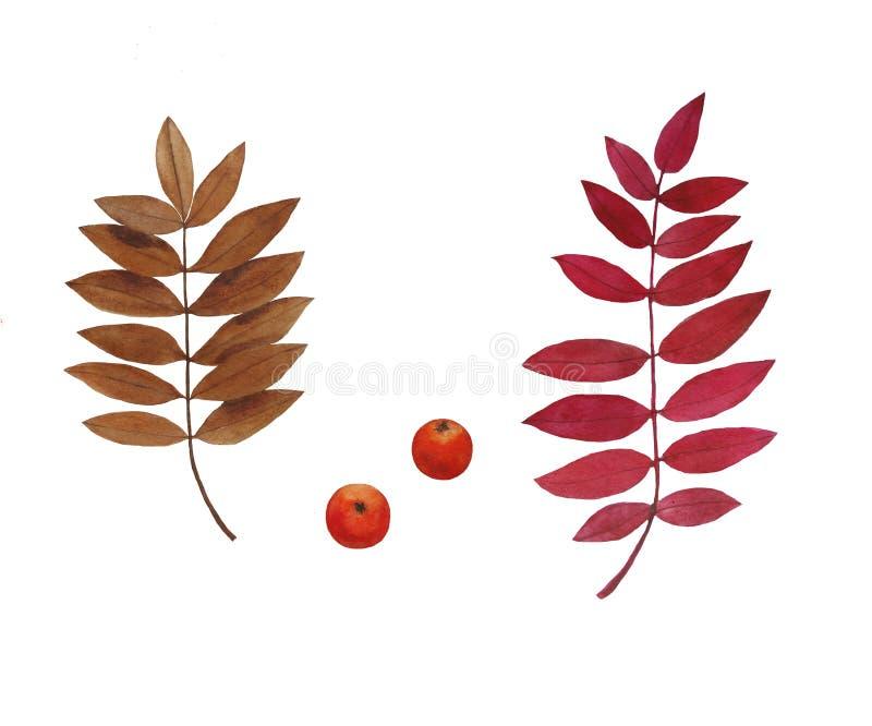 Illustration stellte Herbstlaub- und Beerenebereschenaquarell ein stock abbildung