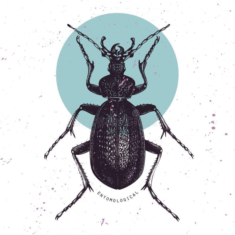 Illustration tirée par la main énorme de Violet Ground Beetle Illustrations de cru de croquis noir d'insecte sur le fond blanc In illustration de vecteur