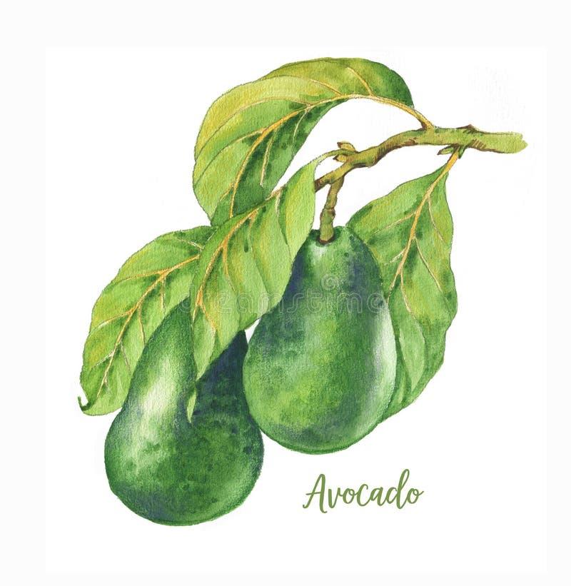 Illustration tirée par la main d'aquarelle avec l'avocat vert frais sur la branche illustration de vecteur