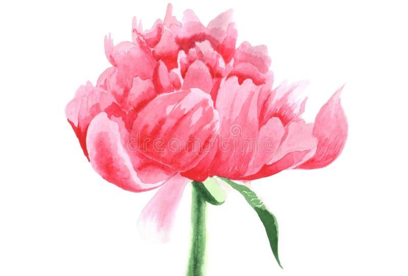 Illustration tirée par la main d'aquarelle de fleur de pivoine d'isolement photographie stock libre de droits