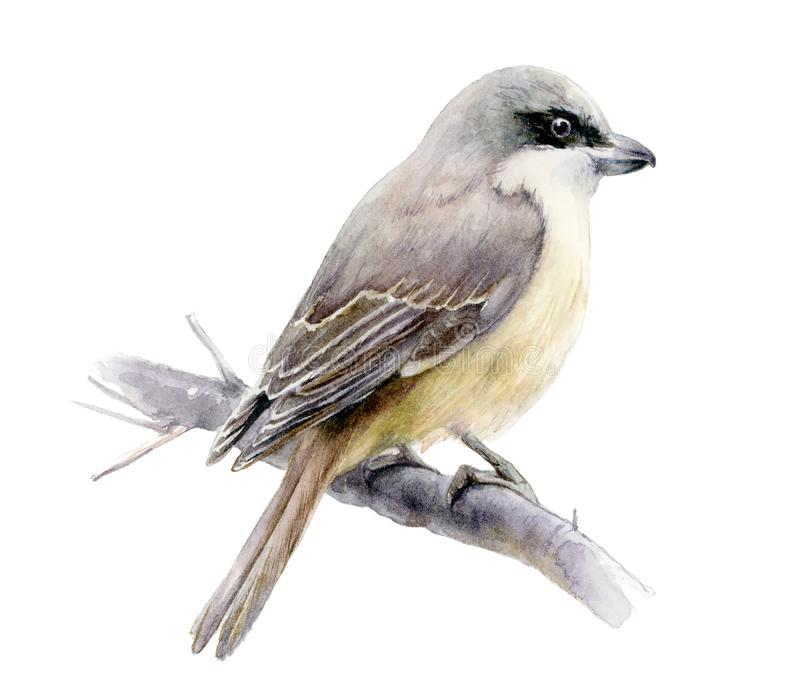 Illustration tirée par la main d'aquarelle d'oiseau de Lanius D'isolement sur le blanc photo libre de droits