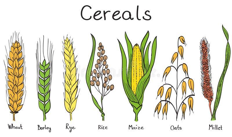 Illustration tirée par la main de céréales illustration libre de droits