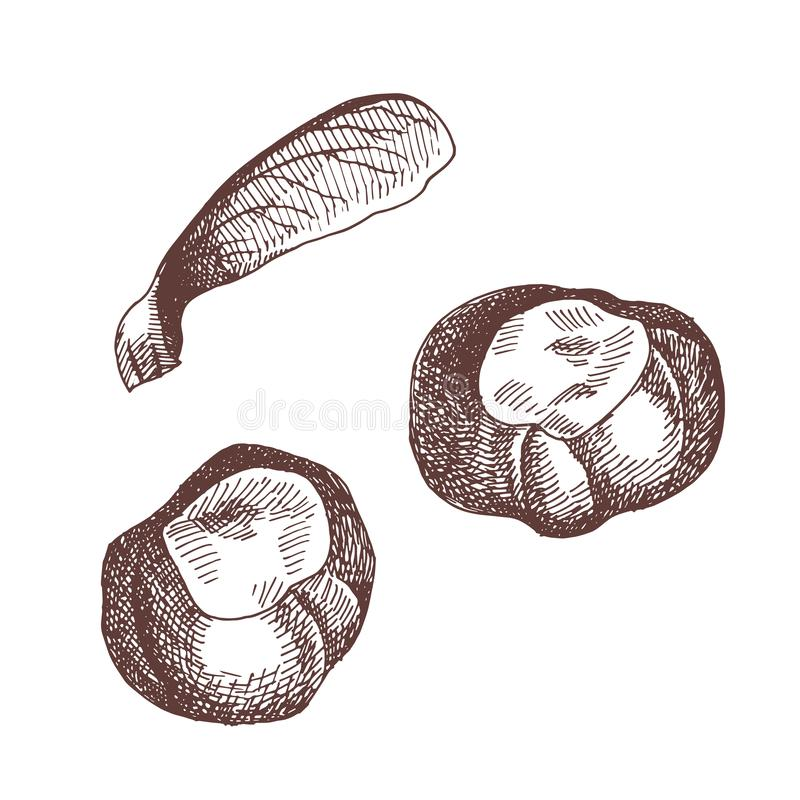 Illustration tirée par la main de cru d'élément d'automne Illustration botanique Châtaignes et graine d'érable illustration libre de droits