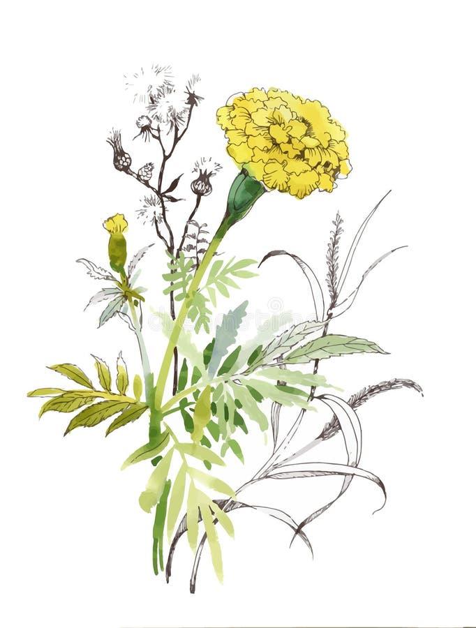 Illustration tirée par la main de fleur de calendula d'aquarelle Herbes botaniques peintes de croquis d'isolement sur le fond bla illustration libre de droits