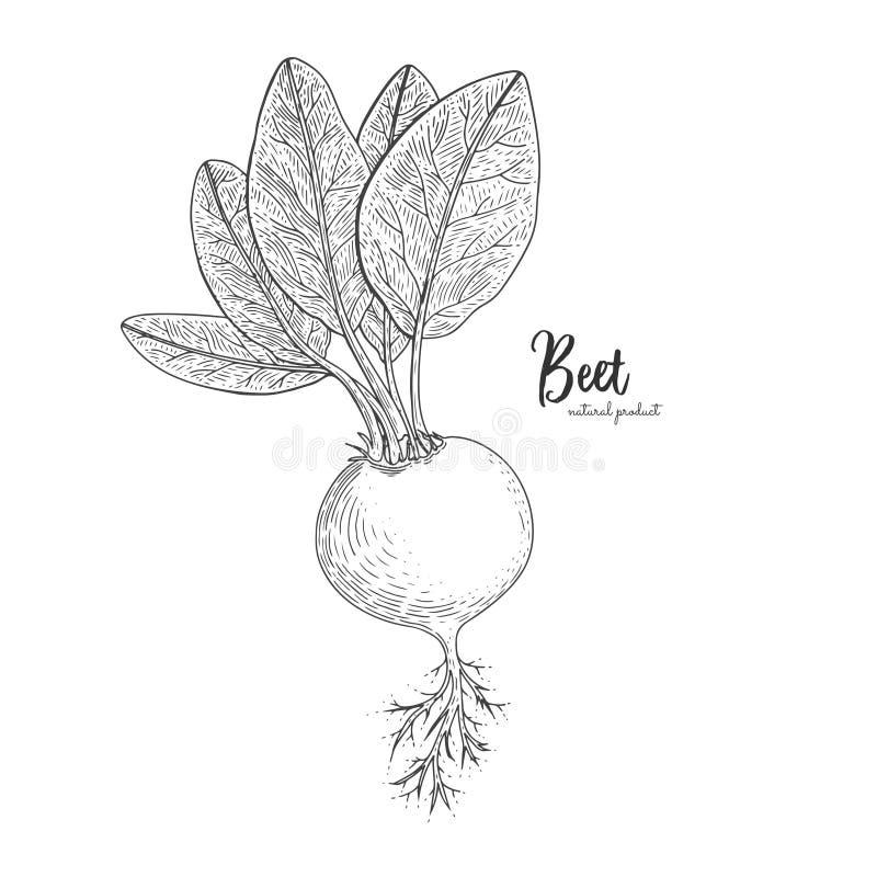 Illustration tirée par la main de vecteur de betterave Objet d'isolement de style gravé par légume Dessin végétarien détaillé de  illustration libre de droits