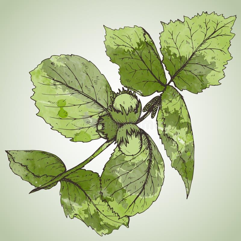 Illustration tirée par la main de vecteur de branche et de feuilles de noisette illustration libre de droits