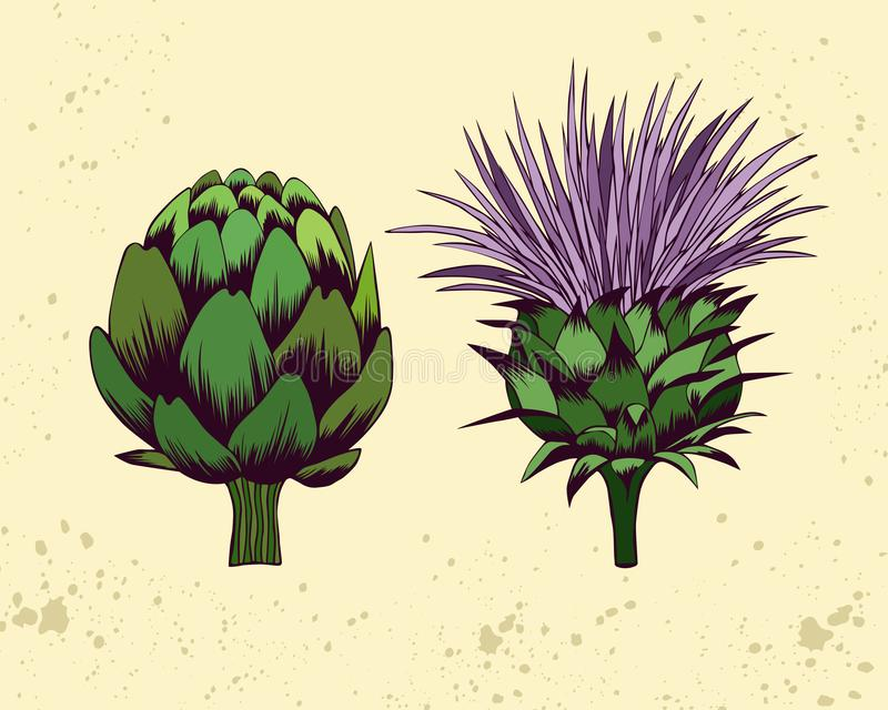 Illustration tirée par la main de vecteur de fleurs d'artichaut illustration stock