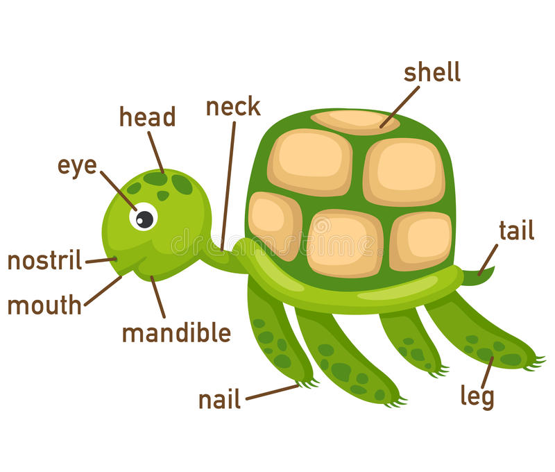 Illustration of turtle vocabulary part of body vector illustration