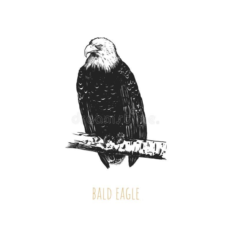 Illustration vectorielle de l'aigle à tête plate. Dessin à main d'aigle à tête blanche. Croquis d'aigle à tête blanche illustration stock