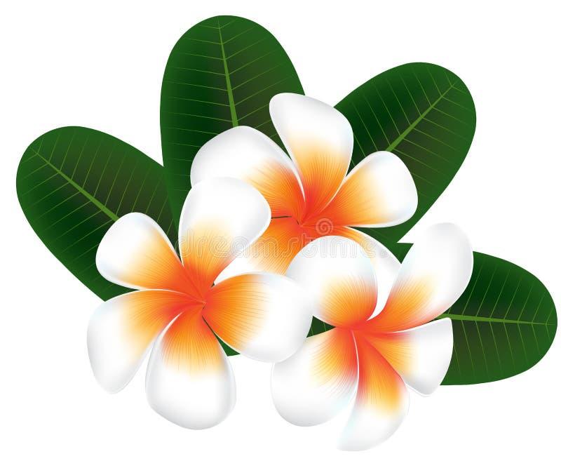Illustration von Hawaii-Blume Frangipani, weißer Plumeria stock abbildung