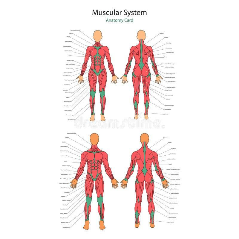 Illustration Von Menschlichen Muskeln Weiblicher Und Männlicher ...