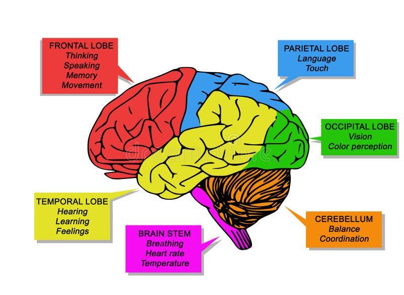 Illustration von menschlichen ` s Gehirnfunktionen stockbild