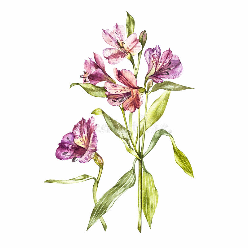 Illustration in watercolor of a Alstroemeria flower blossom. Floral card with flowers. Botanical illustration. royalty free illustration