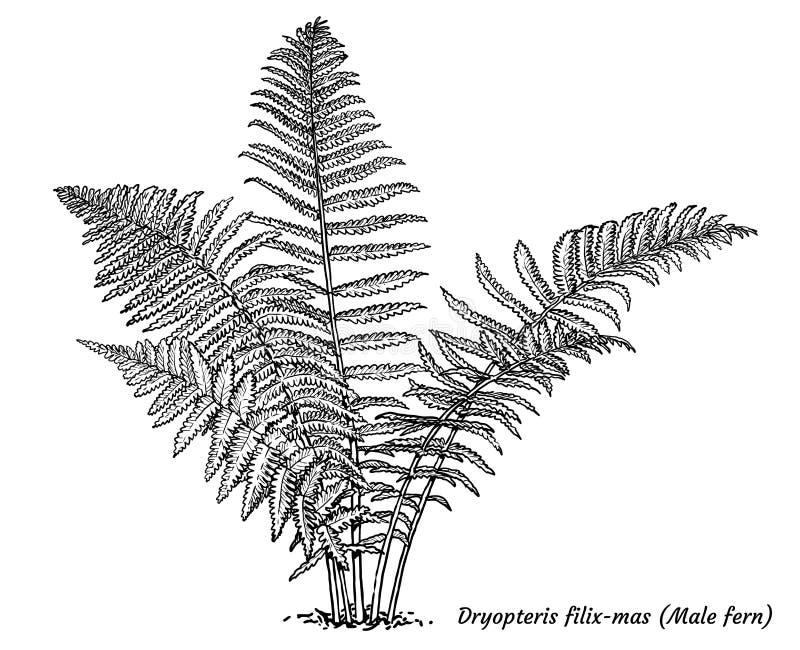 Male Fern Botanical Vintage Engraving Stock Illustration