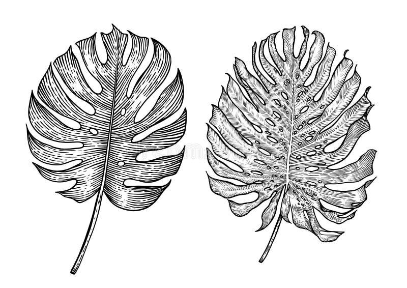 Monstera leaf illustration, drawing, engraving, ink, line art, vector stock illustration