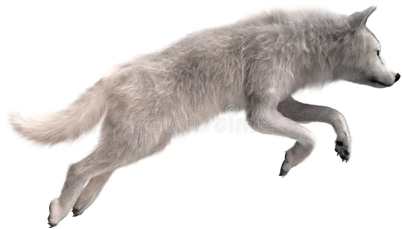 White Wolf Jumping, Wildlife, Isolated. Illustration of a white wolf jumping, The wildlife animal is soaring through the air and is pouncing on prey. Isolated on stock photos