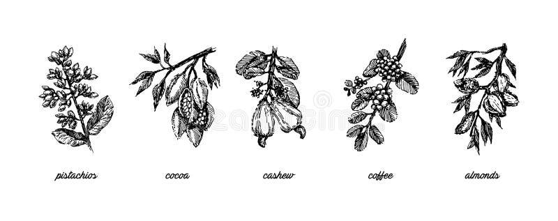 Illustrationen för attraktion för den filial- med pistaschmuttrar, för kakaobönor, mandel-, kasju- och kaffebönaväxthanden skissa stock illustrationer