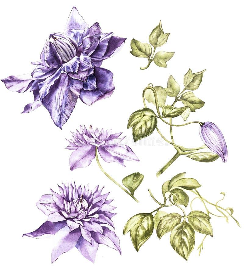 Illustrationen i vattenfärg av en klematis blommar blomningen Blom- kort med blommor Botanisk illustration stock illustrationer