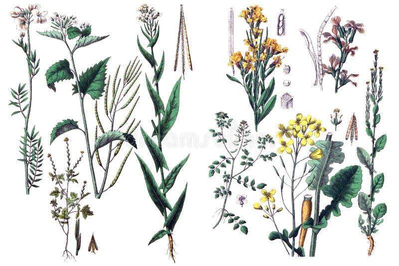 Illustrationer av växter vektor illustrationer