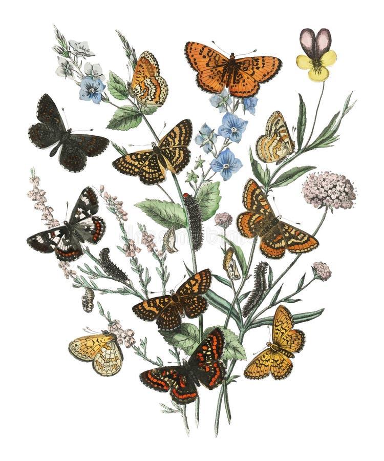 Illustrationer från de europeiska fjärilarna och malarna för bok av William Forsell Kirby 1882 stock illustrationer