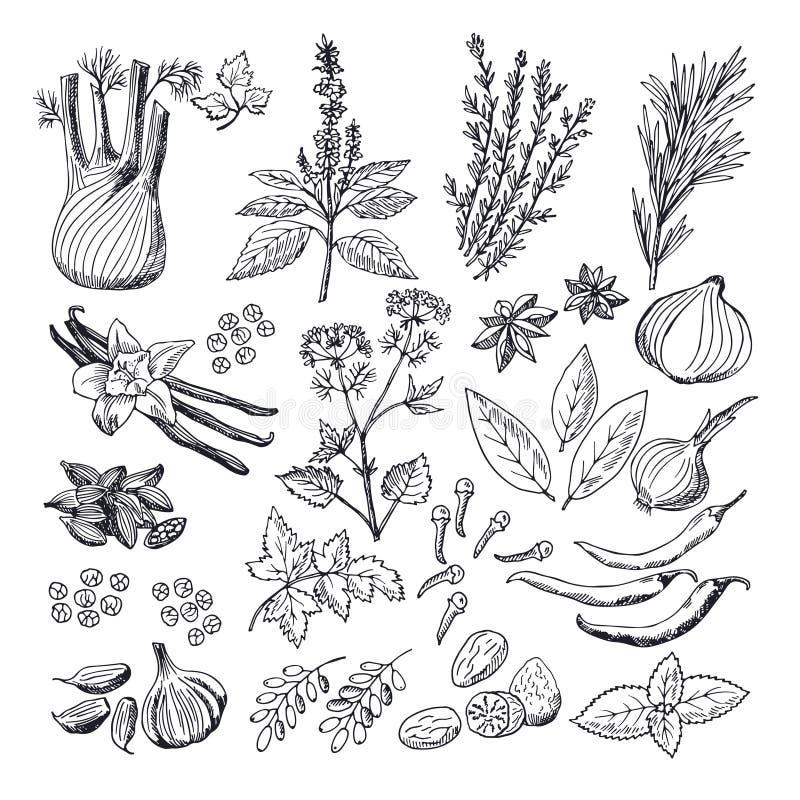 Illustrations de croquis des épices et des herbes Photos tirées par la main de vecteur de vintage illustration de vecteur